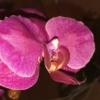 Pflanzenstärkung bei Orchideen nach Befall von Blattläusen