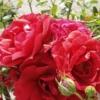 Pflanzenstärkung nach Befall von Blattläusen auf Rosen