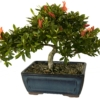 Pflanzenstärkung nach Befall mit Blattläusen bei Bonsai